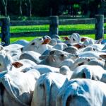 Abacaxi moído para gado em confinamento