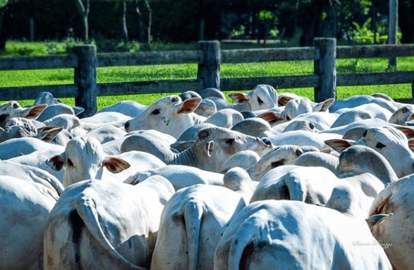AAbacaxi moído para gado em confinamento