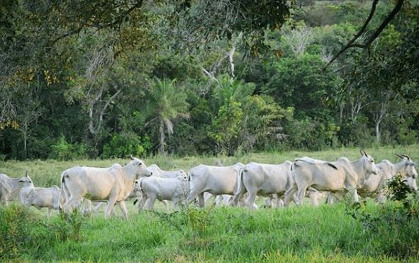 Intoxicação alimentar em bovinos: alimentos proibidos