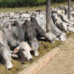 Silagem: quantidade para o gado