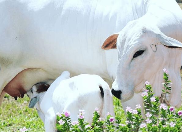 Ração para vaca de cria auxilia na recuperação nutricional