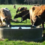O que fazer quando o boi bebe água contaminada?