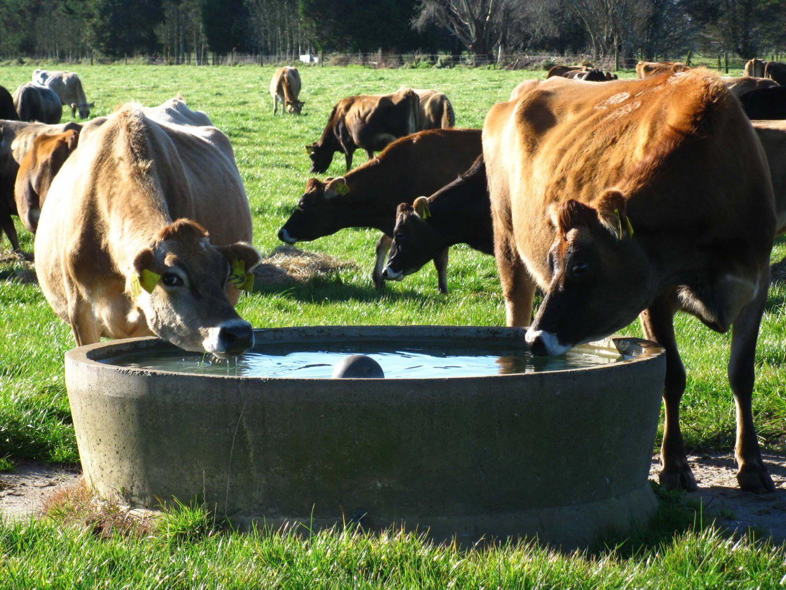 boi bebe água contaminada