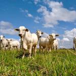 Por que devo oferecer cálcio e fósforo para bovinos?