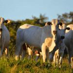 Melhor estratégia na fase de recria de gado de corte