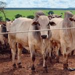Metragem para o sistema de confinamento bovino