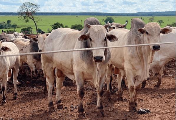 sistema de confinamento bovino