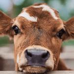 Como nutrir as bezerras para a produção de leite de qualidade