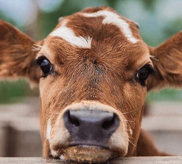 Uma nutrição adequada garante uma produção de leite de qualidade