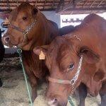 Exposição de vacas e touros: quais os cuidados?
