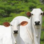 Vaca para reprodução de bovinos de corte