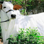 Berne em bovinos: como tratar e prevenir