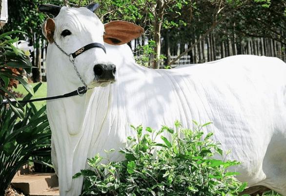 Berne em bovinos