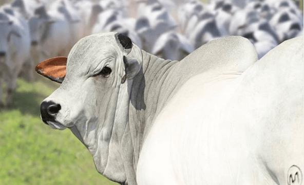 Picada de cobra em bovinos: o que fazer?