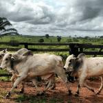Farelo de soja para gado: como oferecer