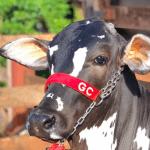 Produção de gado de corte a pasto irrigado