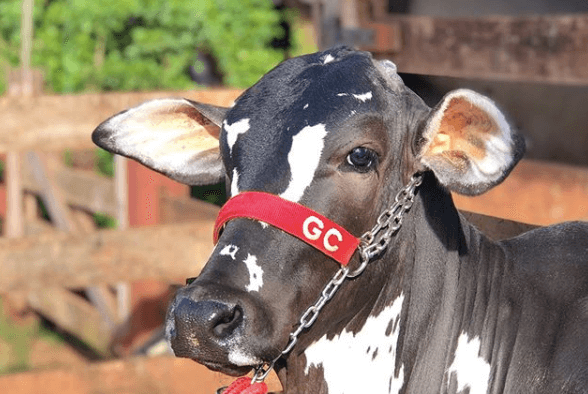 produção de gado de corte a pasto