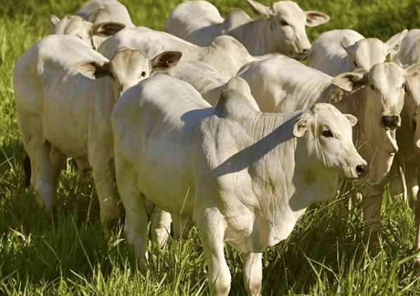Efeito sanfona na engorda de gado: saiba como evitar