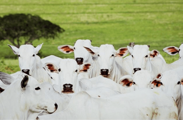 milho para bovinos
