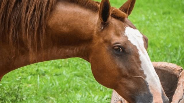 Ração para equinos: confira a receita