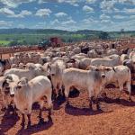 Seguro de gado: preciso fazer?