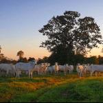 A silagem para bovinos substitui o pasto?
