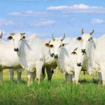 Sorgo para gado com sal mineral dá certo?