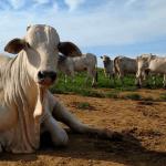 Como evitar a doença da vaca louca no gado