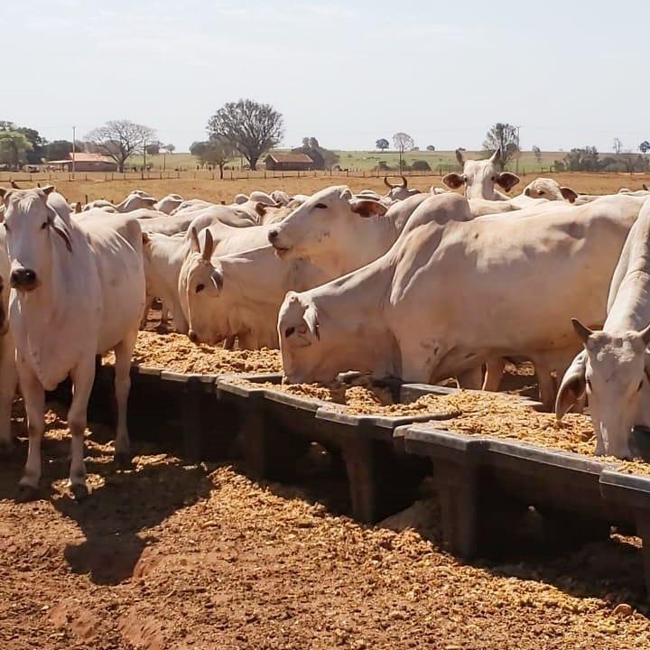 A alimentação e nutrição adequadas reforçam a imunidade e reduzem os danos da tuberculose bovina.