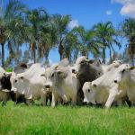 Aveia para bovinos: como e por que oferecer?