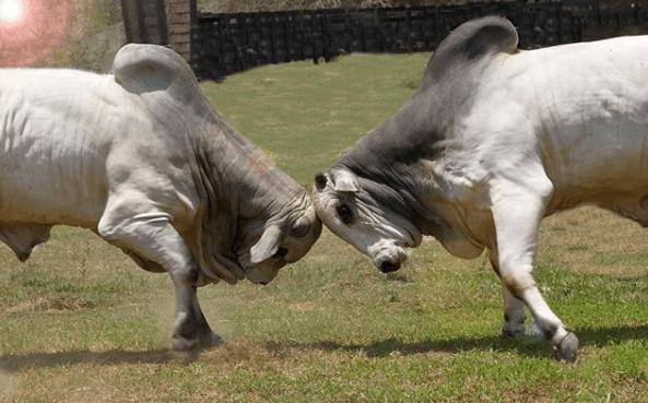 Como fazer a lida de gado bravo