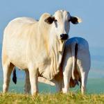 Higiene na ordenha de vacas: antes, durante e depois