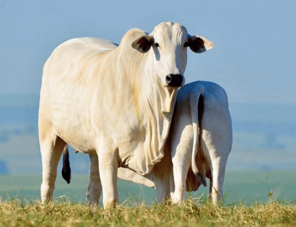 higiene na ordenha de vacas