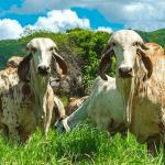 Tuberculose bovina: saiba tudo sobre a doença