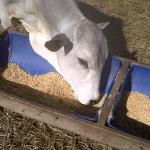 Palhadas da lavoura na alimentação dos bovinos