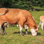 Anestro bovino relacionado à deficiência nutricional
