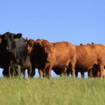 Angus produz carne nobre de alta qualidade