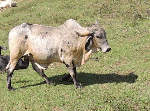 Saiba como evitar que o gado coma terra