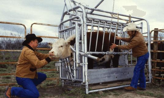 Bem estar animal: fechar bovinos sem estresse