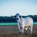 5 dicas para proteger o gado para corte do calor excessivo