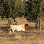 Bovinos: alimentação na seca pode evitar prejuízos?