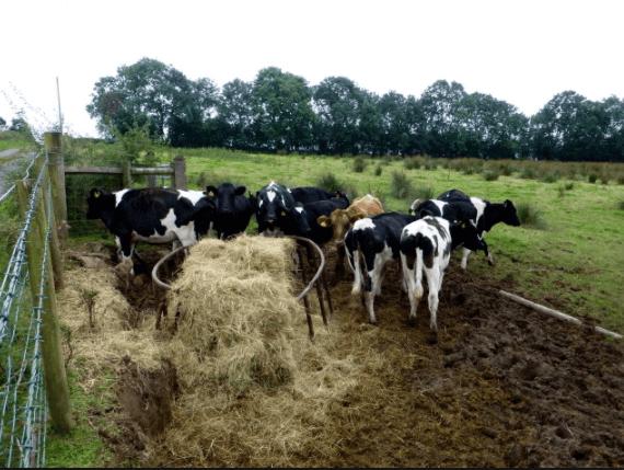 Quantos bois por hectare? Número ideal