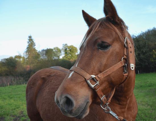 Cólicas em equinos são resolvidas com simples medidas