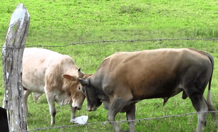 Descorna de bovinos evita lesões em brigas