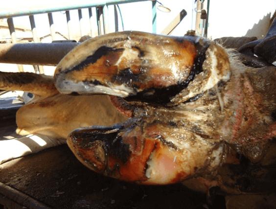Doença no casco de bovinos diminuem a produtividade
