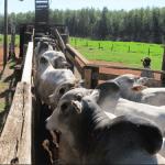 Quais as medidas de embarcador de bovinos ideais?