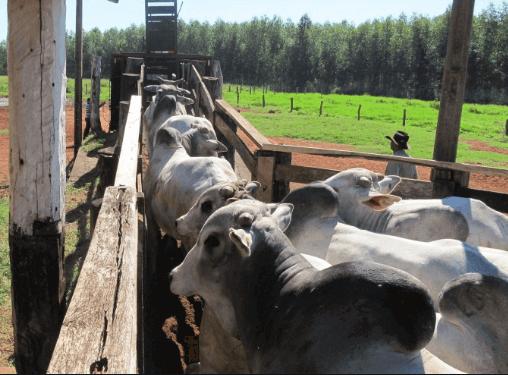 Medidas embarcador bovinos corretos garante a segurança