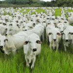 Engorda de boi a pasto: tire suas dúvidas