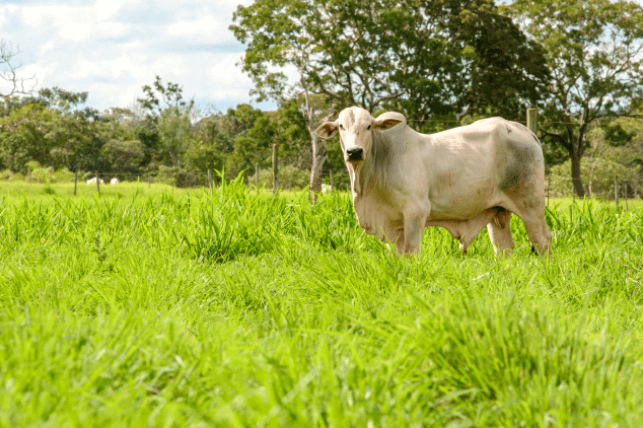 febre maculosa em bovinos