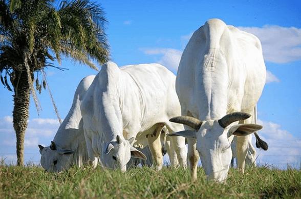 O regime mais utilizado no gado de corte é o a pasto.